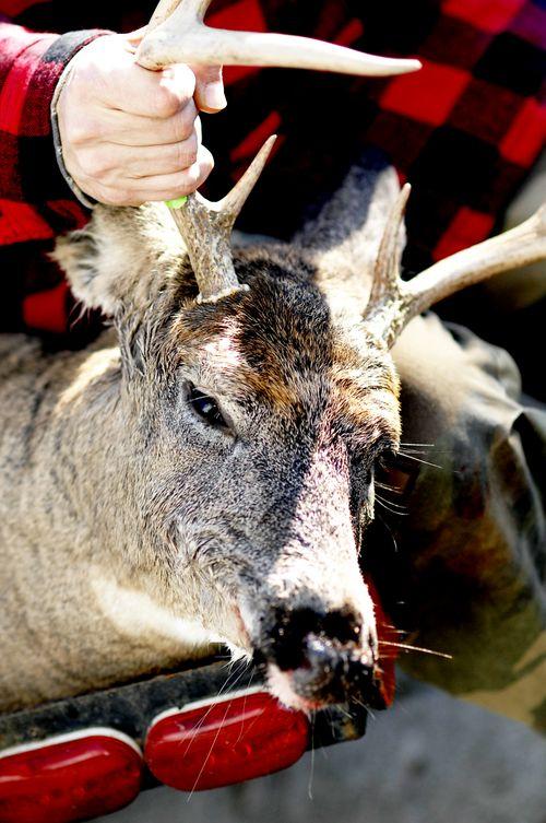 Deer 008